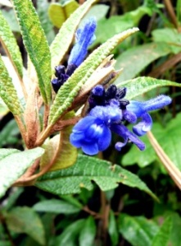 blue-flowers-cajas-2