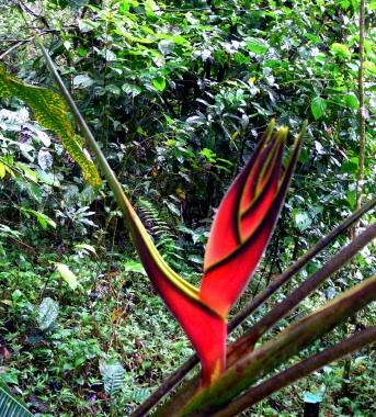 bromeliad-bird-of-paradise-podocarpus-bombuscaro-lores
