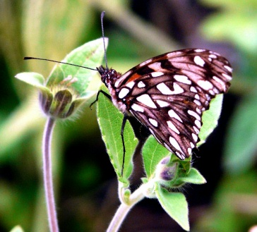 brown-white-butterfly-rumi-wilco-vilcabamba-lores