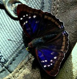 iridescent-blue-butterfly-podocarpus-lores1