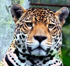jaguar-head-3