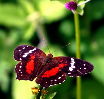 orange-blk-white-butterfly-loop-hike-vilcabamba-lores