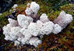 pinkish-lichen-cajas-2