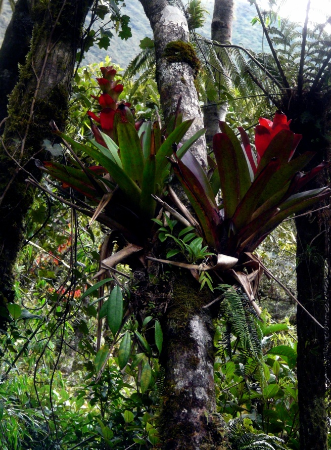 podocarpus-cajanuma-bromeliads-in-tree