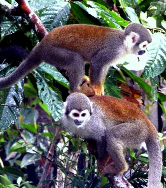 squirrel-monkeys-park