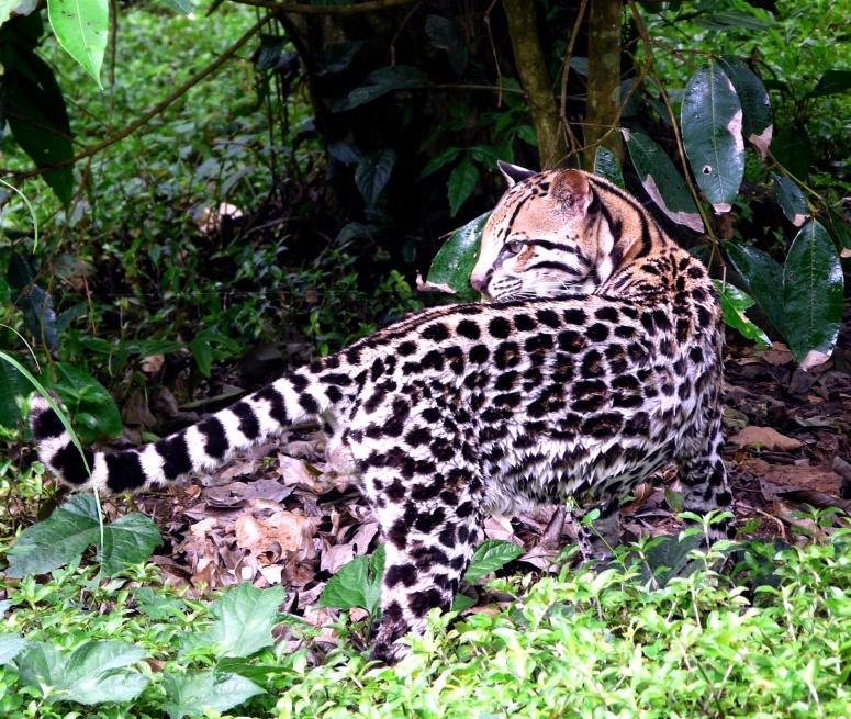 tigrillo-in-zoo