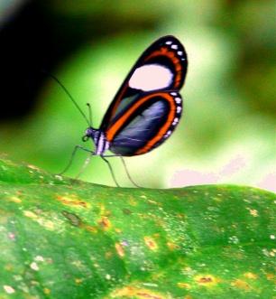 transparent-butterfly-2-podocarpus-lores