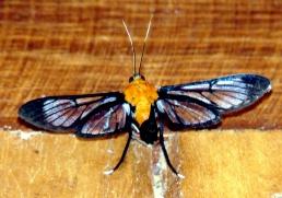 wasp-mimic-butterfly-2-copalinga-podocarpus-lores