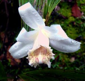 white-orchid-podocarpus-lores