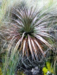 wicked-spiny-plant-cajas-2