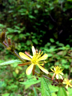 yellow-flowers-in-a-row-2-loop-hike-vilcabamba-lores