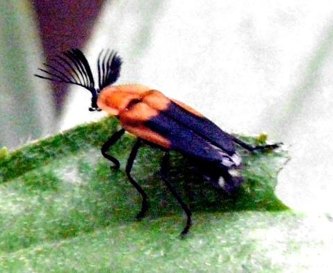 blk-orange-beetle-antennae-out-shrunken