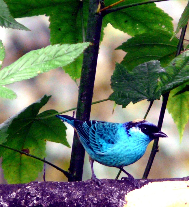 blue-blk-tanager-2