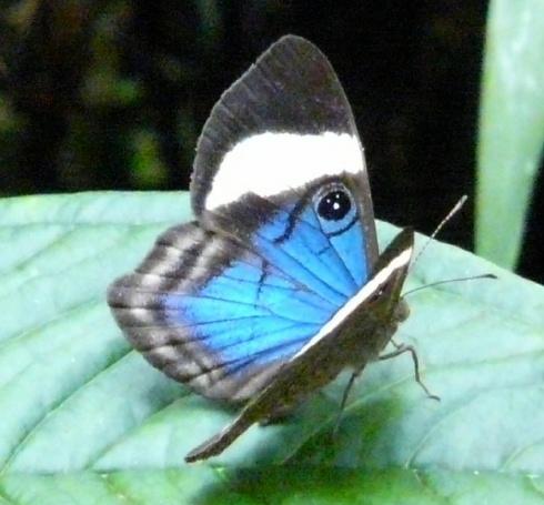 blue-yellow-gray-butterfly-on-leaf-shrunken
