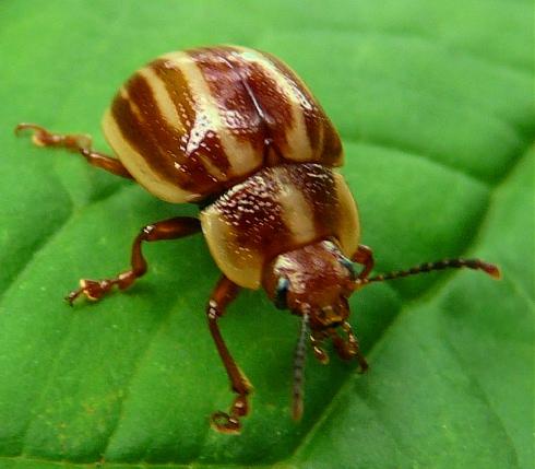 brn-beige-beetle-shrunken