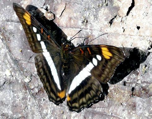brn-white-orange-butterfly-shrunken