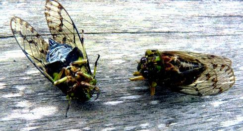 cicadas-shrunken