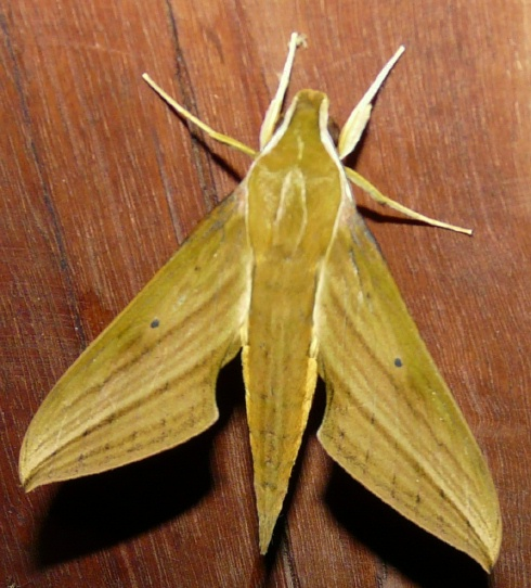 hummingbird-moth-shrunken
