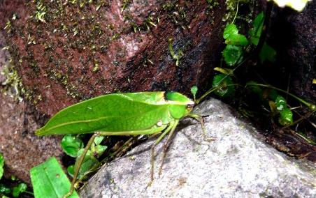 katydid-on-rock-shrunken
