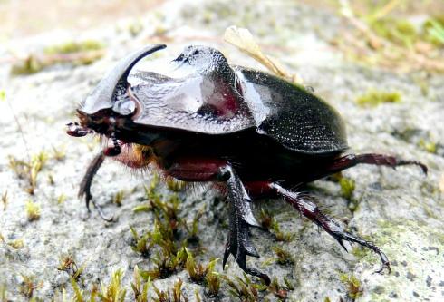 mini-goliath-beetle-shrunken