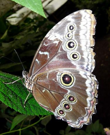 owl-butterfly-shrunken