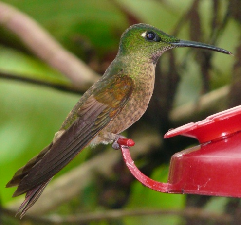 rufous-tailed-check-species-shrunken