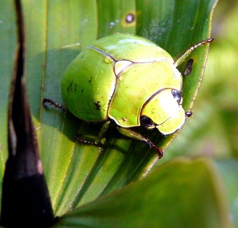 sachatamia-apple-grn-beetle-shrunken
