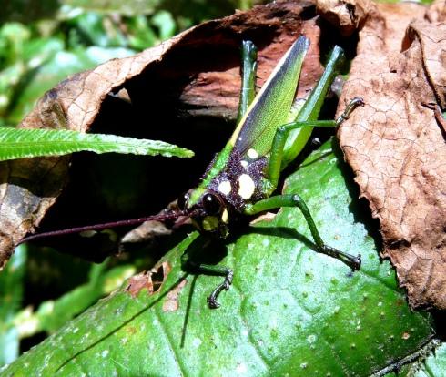 sachatamia-grn-grasshopper-shrunken