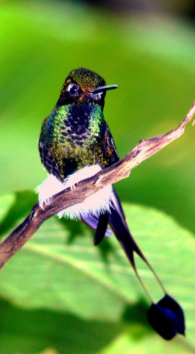 sachatamia-raquet-tailed-puff-leg-natural-shrunken