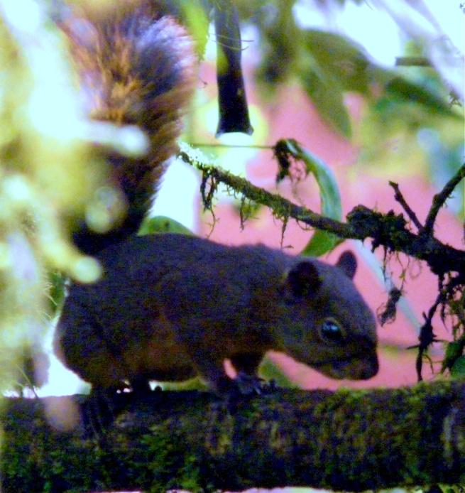 squirrel-sachatamia