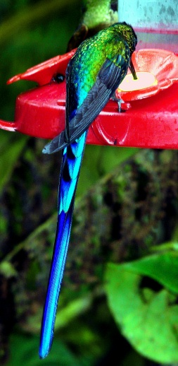 violet-tailed-sylph-feeding-shrunken