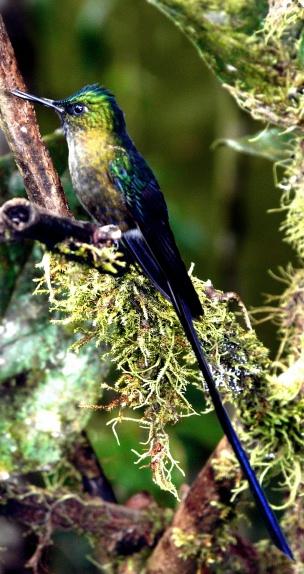 violet-tailed-sylph-shrunken
