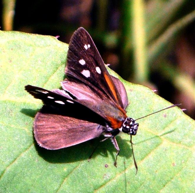 x-wing-moth-sachatamia-shrunken