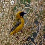 Yellow weaver bird - finch?