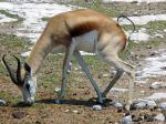 Springbok Taking A Dump