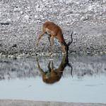 Impala Male - Etosha Water Hole