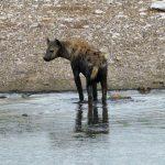 Hyena Wading In Waterhole - Etosha