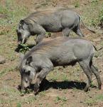 Warthog boar and sow