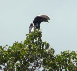 Hornbill (silvercheek?) with extra big bill