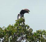 Hornbill (silvercheek?) with extra big bill