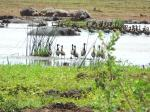 Hippos and geese  - Lake Manyara National Park