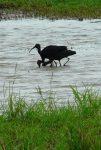 Three ibises  - Lake Manyara National Park