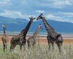 Giraffes - Lake Manyara National Park
