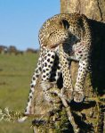 Leopard in acacia - Serengeti