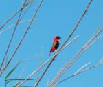 Red bird - Orange River - Namibia