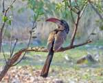 Red Billed Hornbill - Bird