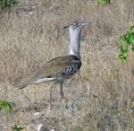Kori Bustard - Etosha, Namibia