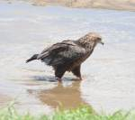 Young eagle looking for food - Tarangire