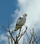 Black shouldered kite   - Serengeti
