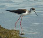 Black winged stilt- Serengeti
